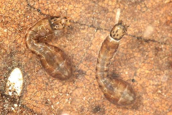 Black Fly larva - Stegopterna