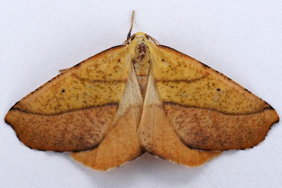 Neoterpes edwardsata ? - Sicya macularia - male