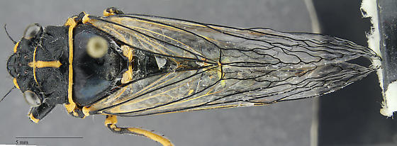 Cicada - Platypedia