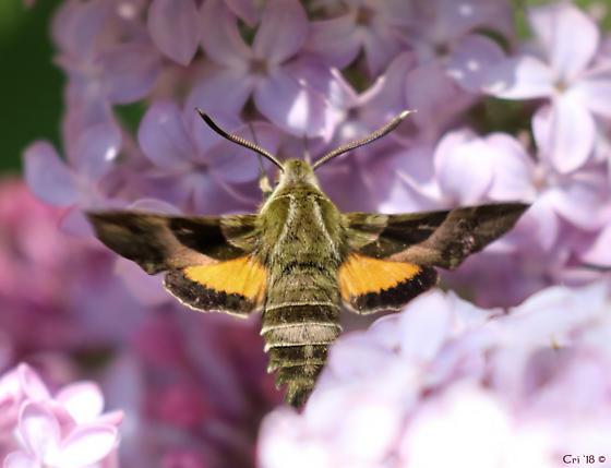 Proserpinus clarkiae - Proserpinus clarkiae
