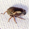 Treehopper - Ophiderma flavicephala