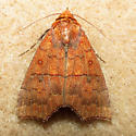 Hibiscus Leaf Caterpillar Moth - Rusicada privata