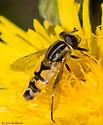 Helophilus latifrons? - Helophilus hybridus
