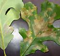Upper blotch mine on Quercus macrocarpa -Cameraria macrocarpae? - Cameraria