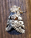 I think this is a Black Zigzag moth (Panthea acronyctoides)? - Panthea acronyctoides