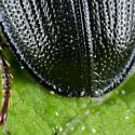 Unknown Beetle - Platycerus depressus