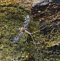 insect - Callibaetis ferrugineus
