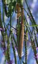 Green-margined brown mantid - Tenodera sinensis