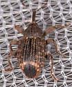 Weevil for ID - Conotrachelus posticatus