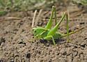katydid - Steiroxys pallidipalpus - female