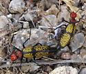 Yellow, black and red bug - Tegrodera aloga