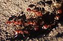 ant - Pogonomyrmex californicus