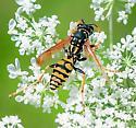 French Paper Wasp (Polistes gallicus) - Polistes dominula