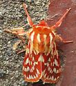 Moth Stanwood WA - Lophocampa roseata