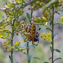 spider eating Geotrupes blackburnii - Araneus marmoreus