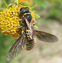 Wasp with Bee Fly