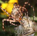 big spider - Argiope trifasciata