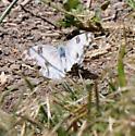 Checkered White? - Pontia protodice