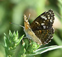 Painted Crescent 2 - Phyciodes picta