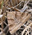 Brown moth - Caenurgina crassiuscula