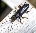 Black bug - Plateumaris