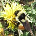 What kind of Bumble Bee please? - Bombus ternarius