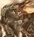 Mystery fly - Mauromyia