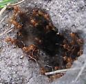 ants - Lasius murphyi