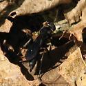 Pompilid - Aporus niger - female