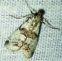 Tallula watsoni- Watson's Tallula Moth - Tallula atrifascialis
