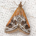 Pyrausta nexalis (Hulst) - Pyrausta nexalis