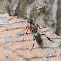 ichneumon with reddish brown legs - Metapelma spectabile