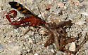 Scorpionfly (Panorpa nuptialis) - male ? - Panorpa nuptialis