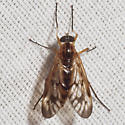 Deer Fly - Rhagio