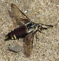 Sphinx Moth - Hemaris