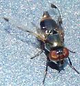 Green fly - Euxesta notata - female