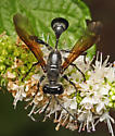 Sphecid wasp foraging on mint flowers - Great black wasp? - Isodontia mexicana - female