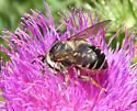 Leaf-Cutter Bee? - Megachile inermis