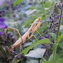 Pale Mantid - Stagmomantis californica - female