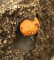 Small Orange Ball?