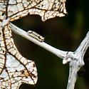 Catapillar on Grape Leaf