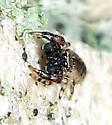 Jumping Spider  - Admestina