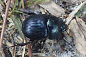 Dung beetle - Geotrupes - female