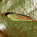 Rhodedendron Leafhopper? - Graphocephala fennahi