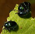 Blue Milkweed Beetle, Chrysochus cobaltinus - Chrysochus cobaltinus