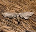Moth - Glaucina
