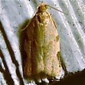 Clepsis virescana - Hodges #3689 (Clepsis virescana) - Clepsis virescana