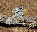 Blue Butterfly - Euphilotes bernardino - male