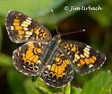 pEarly Crescentspot????? - Phyciodes phaon - male