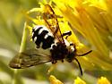 California Xeromelecta - Brachymelecta californica